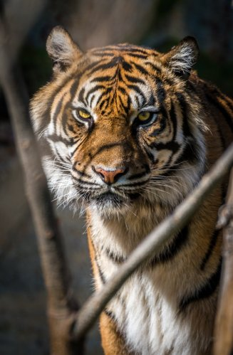 Scary looking tiger